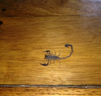 A small scorpion on a wooden floor.